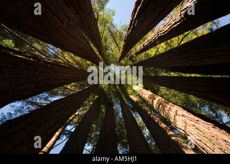 Inside a Coast Redwood Tree Cathedral or Fairy Ring. Sequoia Sempervirens. A closed circle of Redwood trees. - Stock Photo