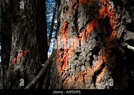 Logging. Forestry - painted signs on tree trunks. - Stock Photo