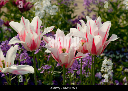 Lily flowering tulips with hoary stock, Matthiola incana - Stock Photo