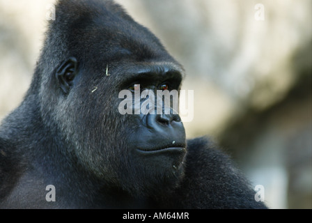 Western Lowland Gorilla (Gorilla gorilla gorilla), Male - Stock Photo