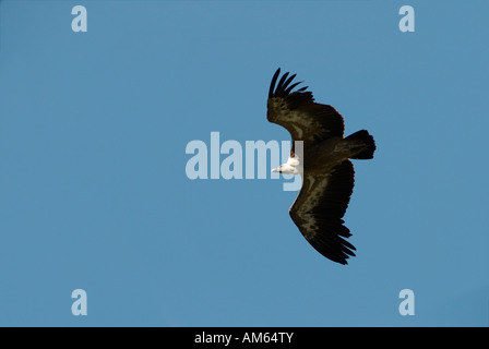 Flying Griffon Vulture (Gyps fulvus) - Stock Photo