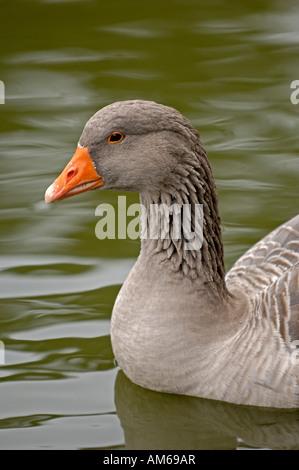 Grey goose, Anser anser - Stock Photo