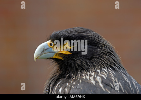 Phalcoboenus australis - Stock Photo