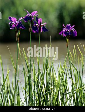 Iris at riverside - Stock Photo