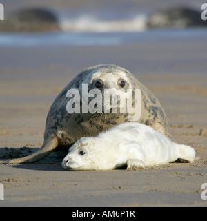 Atlantic Grey Seal protecting her Pup (Halichoerus Grypus) - Stock Photo