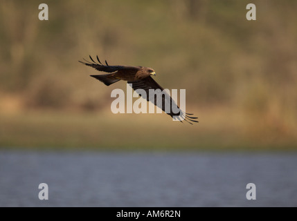 African Marsh Harrier in flight over river (Circus ranivorus) - Stock Photo