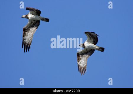 Pair of flying fish hawks - fish hawk - osprey (Pandion haliaetus) - Stock Photo
