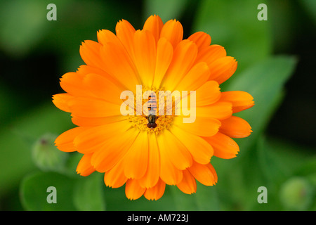 Marigold - blossom with hover fly - medicinal plant (Calendula officinalis) (Syrphus spec.) - Stock Photo