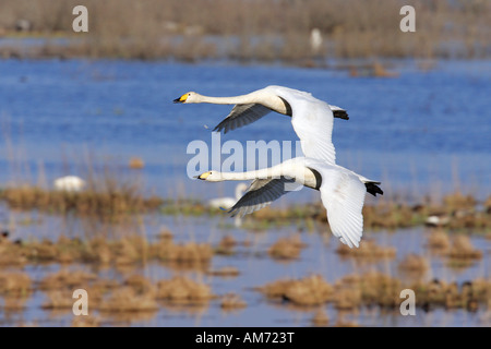 Couple of flying whooper swans - whooper swan (Cygnus cygnus) - Stock Photo
