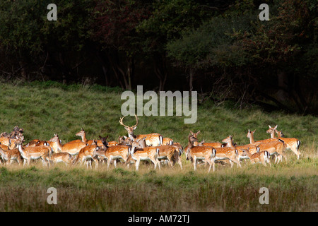Fallow deers - male with females during the rut - stag with hinds - (Cervus dama) (Dama dama) - Stock Photo
