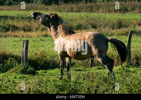 Konik horse - konik stallion - behaviour (Equus przewalskii f. caballus) - Stock Photo