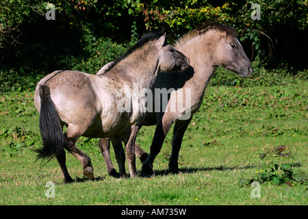 Konik horses - couple - social behaviour (Equus przewalskii f. caballus) - Stock Photo