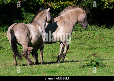 Konik horses - couple - social behaviour (Equus przewalskii f. caballus) - Stock Photo