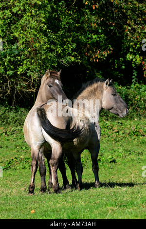 Konik horses - koniks - social behaviour (Equus przewalskii f. caballus) - Stock Photo