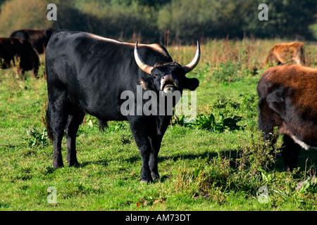 Heck cattle - heck cattles - bull (Bos primigenius f. taurus) - Stock Photo