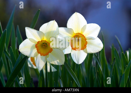 Daffodils in light (narcissus), Amaryllidaceae - Stock Photo