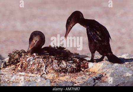 Flightless cormorant, Stummel Kormoran, Galapagos Scharbe, Nannopterum harrisi, Galapagos Ecuador, South America - Stock Photo