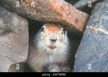 Arctic Ground Squirrel, Spermophilus parryii, in its den, Yukon Territory, Canada - Stock Photo