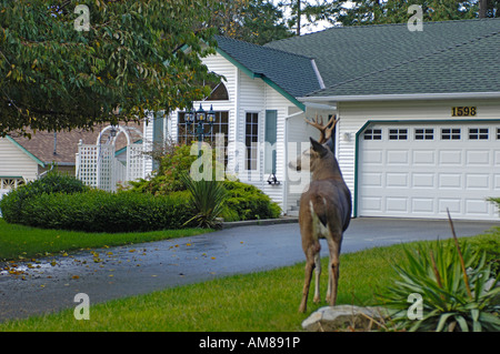 Urban Columbia black-tailed deer (Odocoileus hemionus columbianus - Stock Photo
