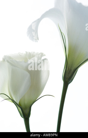 Portrait of a Pair of White Lisianthus Flowers on White Background - Stock Photo