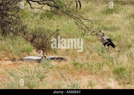 Kenya Samburu National Reserve Kenya Two Secretary Birds Sagittarius serpentarius - Stock Photo