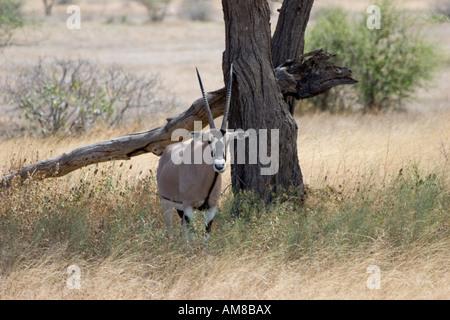 Kenya Samburu National Reserve Kenya Gemsbok Beisa Oryx Resting under a tree February 2007 - Stock Photo