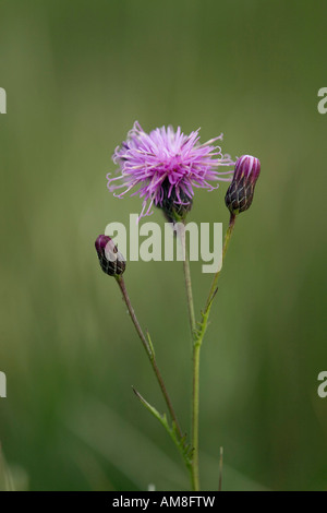 sawwort Serratula tinctoria in flower - Stock Photo