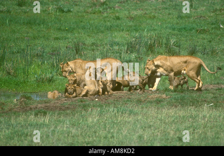 Two Lionesses with lots of young cubs going to water to drink - Stock Photo
