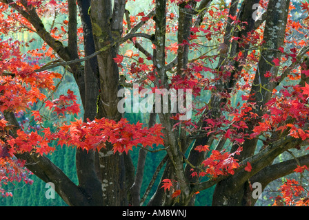 Detail of Japanese Maple tree in Autumn. - Stock Photo