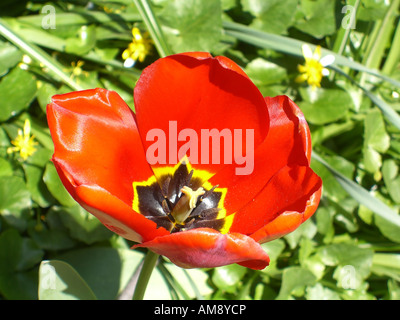 Large red Tulip flower - Stock Photo