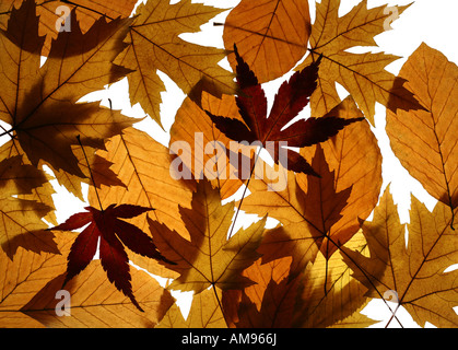 Texture from leaves of Silver (Acer saccharinum) and Japanese (Acer palmatum) maples and European beech (Fagus sylvatica) - Stock Photo