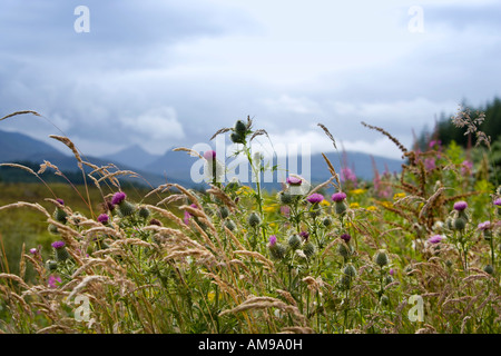 Spear Thistles and Wild Grasses, Highlands, Scotland - Stock Photo