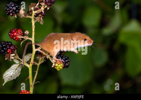Harvest mouse Micromys minutus climbing on bramble using prehensile tail to hang on potton bedfordshire - Stock Photo