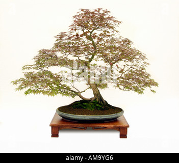 Japanese maple acer palmatum Deshojo informal upright style bonsai bonzai Chinese china Japan Japanese east eastern - Stock Photo