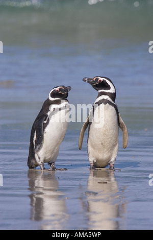 A pair of magellanic penguins rest together on the beach after returning from feeding in the ocean - Stock Photo