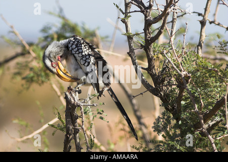 Southern Yellow Billed Hornbill in South Africa - Stock Photo
