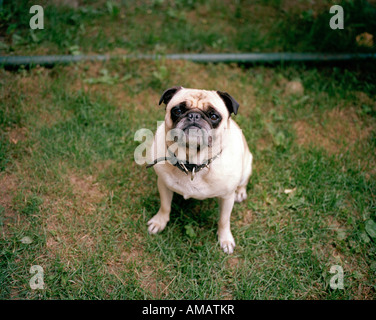 A pug sitting on the grass - Stock Photo