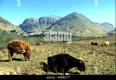 Rare black highland cattle near National Trust for Scotland visitor centre in Glen Coe Highland Scotland - Stock Photo