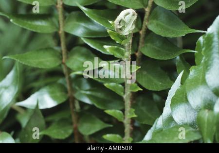 Japanese Holly Farn (Cyrtomium falcatum, Polysticum falcatum), young leaf - Stock Photo