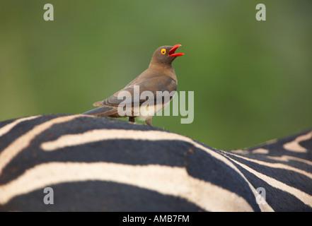 Red-billed Oxpecker (Buphagus erythrorhynchus) on Zebra's back - Stock Photo