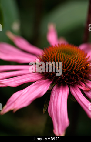 single open purple cone flower Echinacea purpurea Kims Knee High Closeup macro photograph single flower - Stock Photo