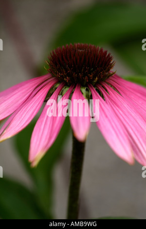 Closeup macro photograph of a single flower of Echinacea purpurea Kims Knee High also known as the purple cone flowers - Stock Photo