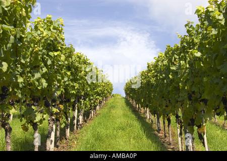 grape-vine, vine (Vitis vinifera), cordon in the vineyard, Germany, Baden-Wuerttemberg, Ortenau - Stock Photo