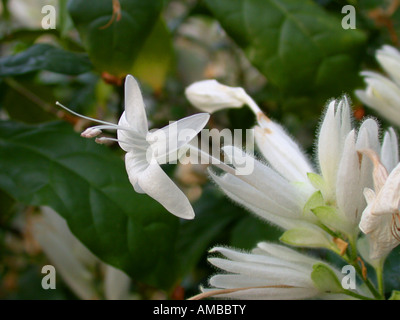 Whitfieldia (Whitfieldia elongata), blooming - Stock Photo