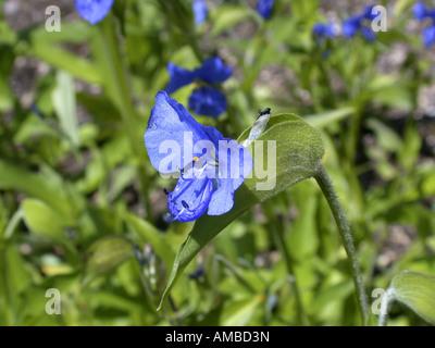 dayflower (Commelina tuberosa, Commelina coelestis), blooming - Stock Photo