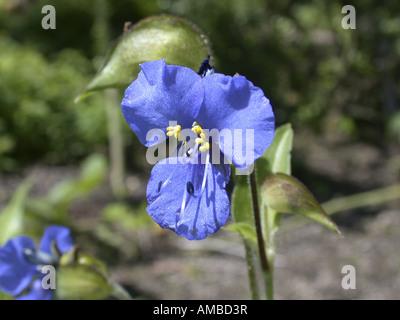 dayflower (Commelina tuberosa, Commelina coelestis), flower - Stock Photo
