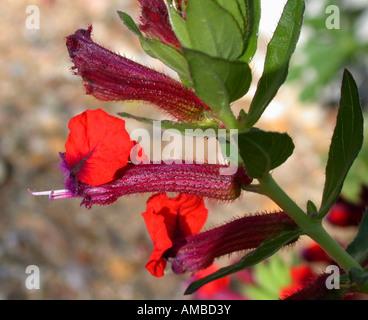 Mexican Cigarplant, Mexican Cigar Plant , Cigar Plant (Cuphea oreophila), flower - Stock Photo