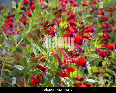 Mexican Cigarplant, Mexican Cigar Plant , Cigar Plant (Cuphea oreophila), blooming - Stock Photo