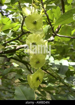 Cyclocarya (Cyclocarya paliurus (Pterocarya paliurus)), infructescence - Stock Photo