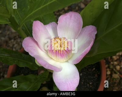 Gustavia (Gustavia superba), flower - Stock Photo